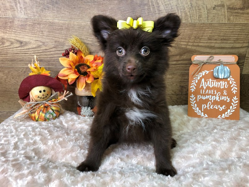 Pomeranian-Female-Chocolate-2840694-Petland Athens, OH