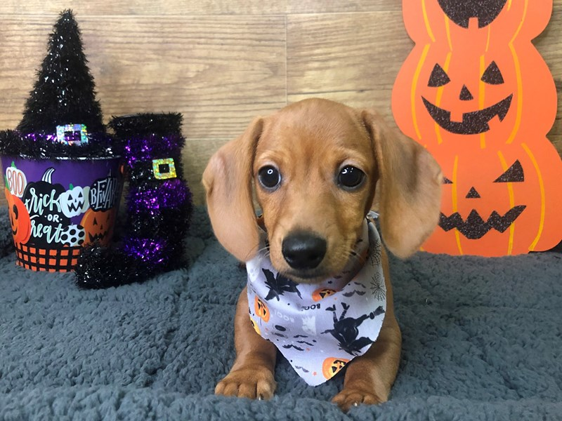 Dachshund-DOG-Male-Tan-2854932-Petland Athens, OH