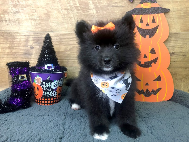 Pomsky 2nd Gen-Female-Black-2854931-Petland Athens, OH