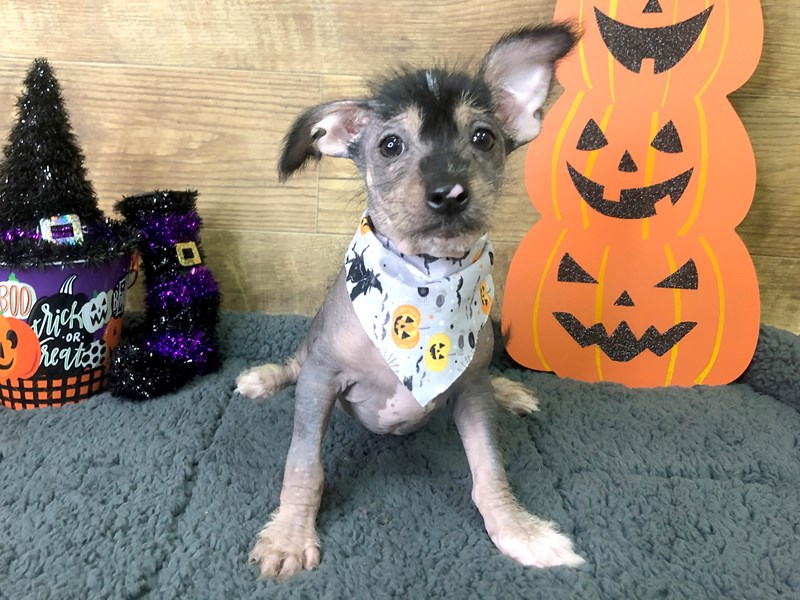 Chinese Crested-Female-Slate-2856330-Petland Athens, OH