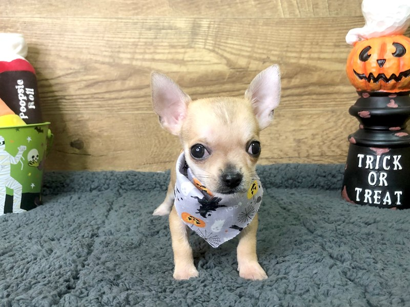 Chihuahua-Male-Fawn-2869663-Petland Athens, OH