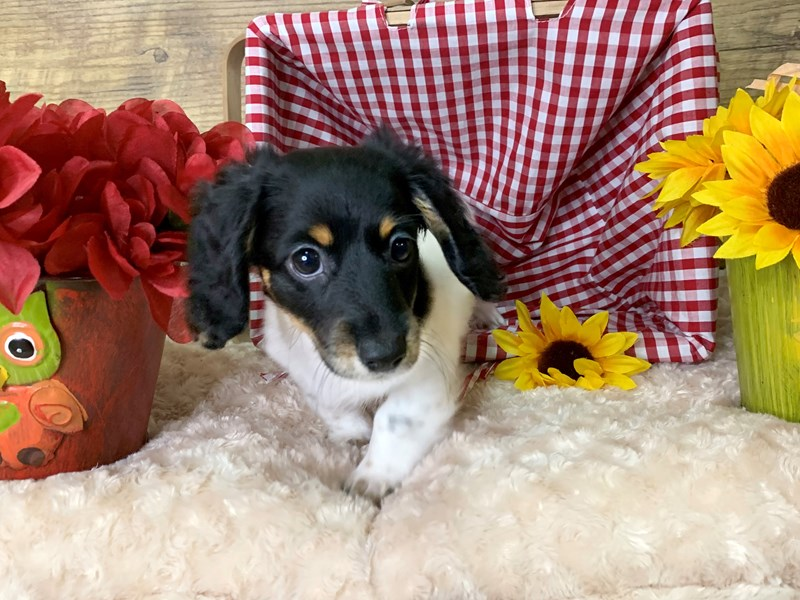 Dachshund-Female-Black / Tan-2876755-Petland Athens, OH