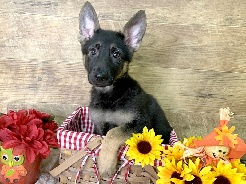 German Shepherd Dog-Female-Black / Tan-2876759-Petland Athens, OH