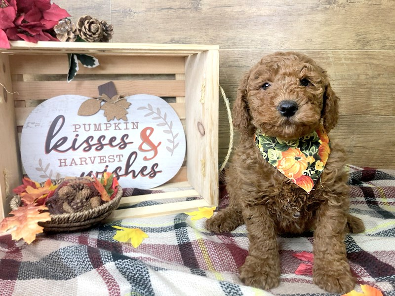 F1B Mini Goldendoodle-Male-Red-2911935-Petland Athens, OH