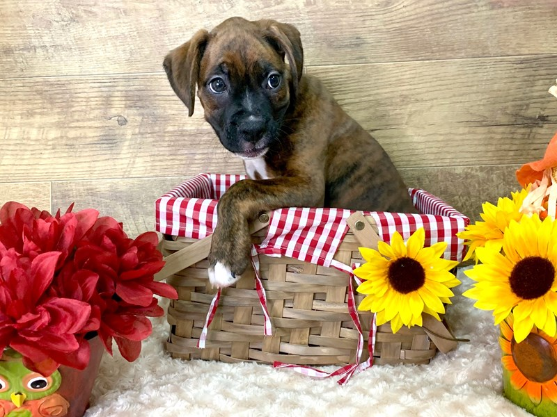 Boxer-DOG-Male-Brindle-2876761-Petland Athens, OH