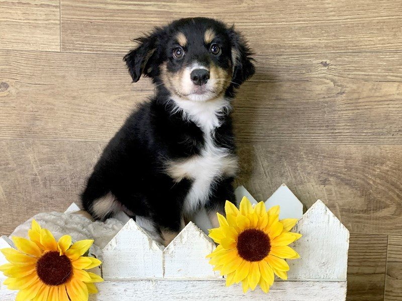 Miniature Australian Shepherd-DOG-Male-Black White / Tan-2887626-Petland Athens, OH