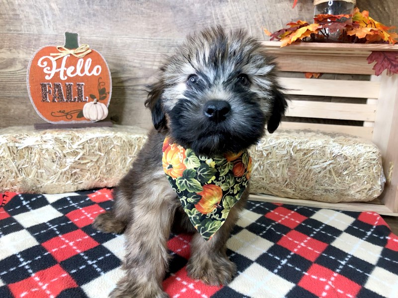 Soft Coated Wheaten Terrier-Male-Wheaten-2897600-Petland Athens, OH
