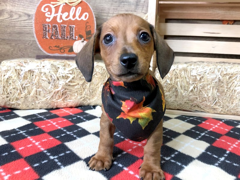 Dachshund-DOG-Male-Red-2897506-Petland Athens, OH