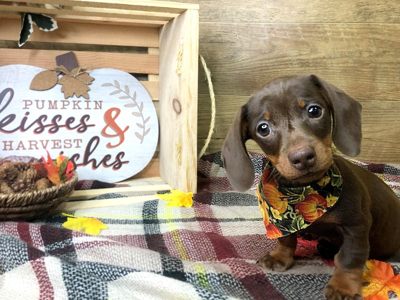 Dachshund-Male-Chocolate / Tan-2911623-Petland Athens, OH