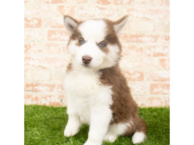 Siberian Husky-Female-Red / White-2917948-Petland Athens, OH