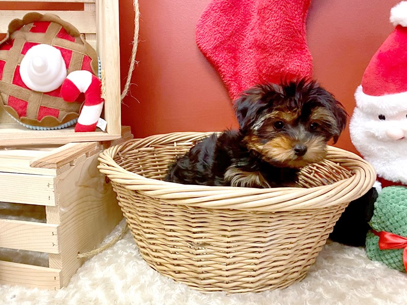 Yorkshire Terrier-Male-Black / Tan-2897746-Petland Athens, OH