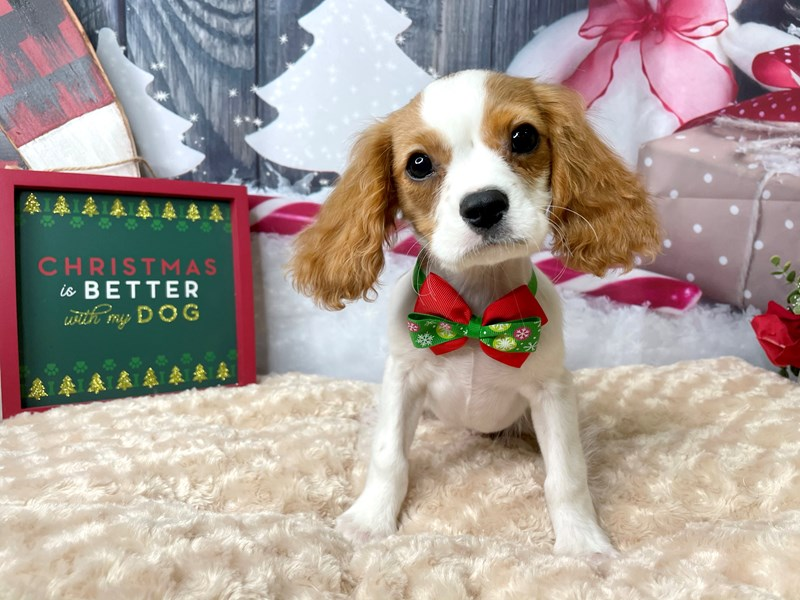 Cavalier King Charles Spaniel-Male-Blenheim-2897508-Petland Athens, OH