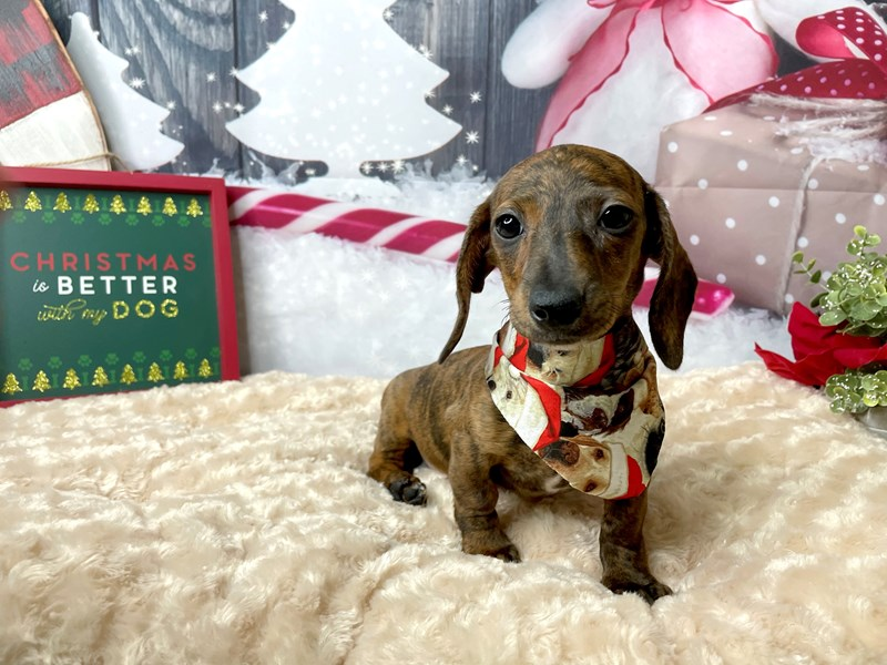 Dachshund-Female-Red-2904342-Petland Athens, OH