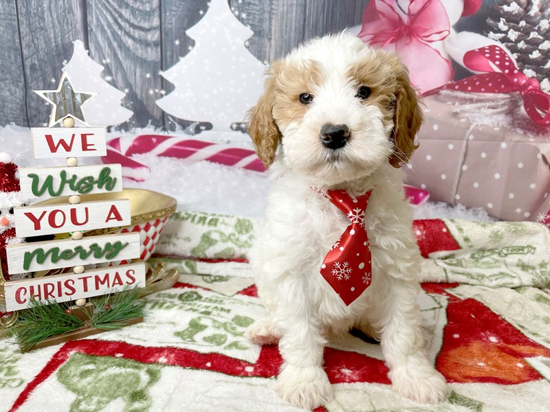 Poodle Mini/Goldendoodle-DOG-Male-Red / White-2934504-Petland Athens, OH