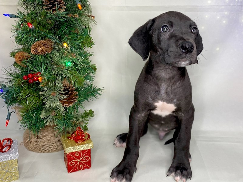 Great Dane-Male-Black & White-2929466-Petland Athens, OH
