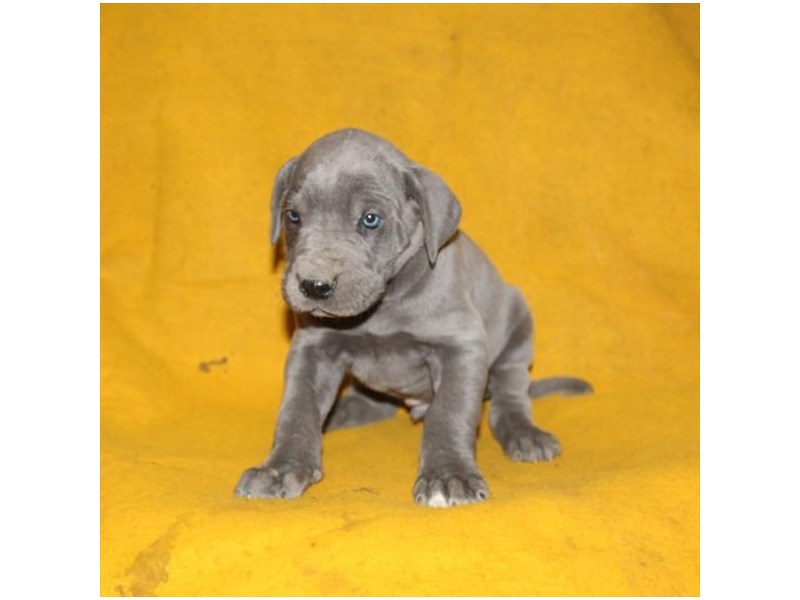 Great Dane-Male-Blue-2949319-Petland Athens, OH