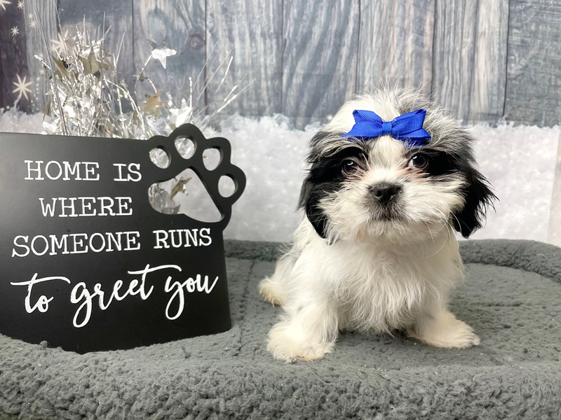Shih Tzu-Female-Black / White-2926481-Petland Athens, OH