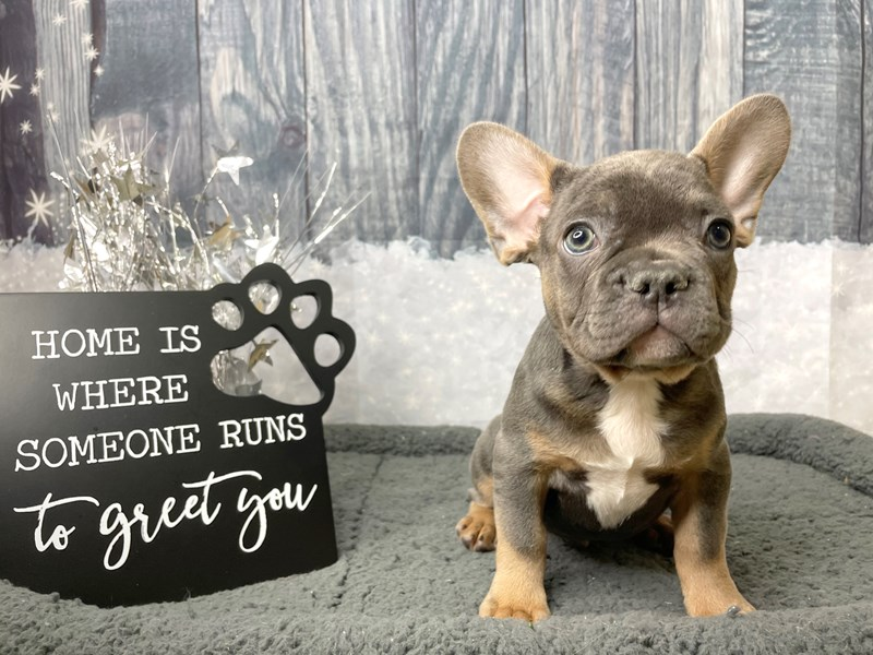 French Bulldog-Male-Blue / Tan-2943025-Petland Athens, OH