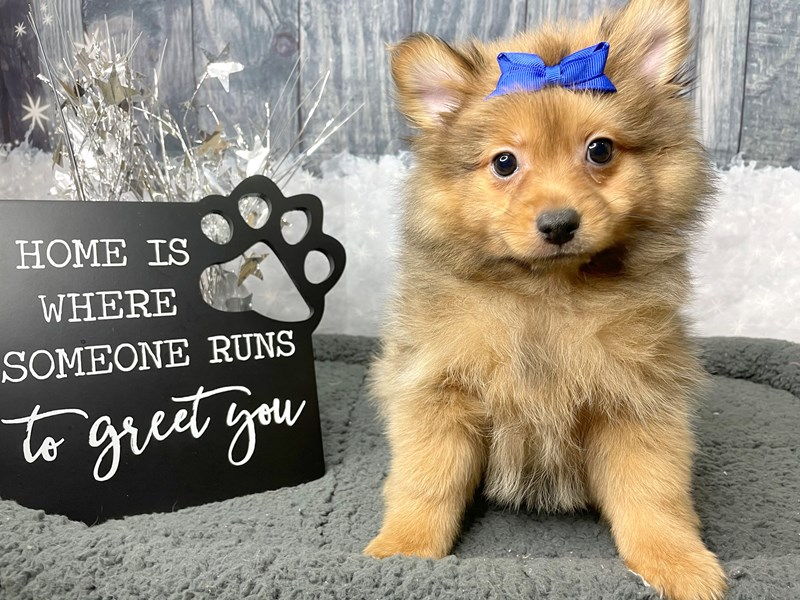 Pomeranian-DOG-Female-Sable-2942670-Petland Athens, OH