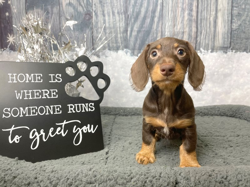 Dachshund-Female-Chocolate / Tan-2949321-Petland Athens, OH