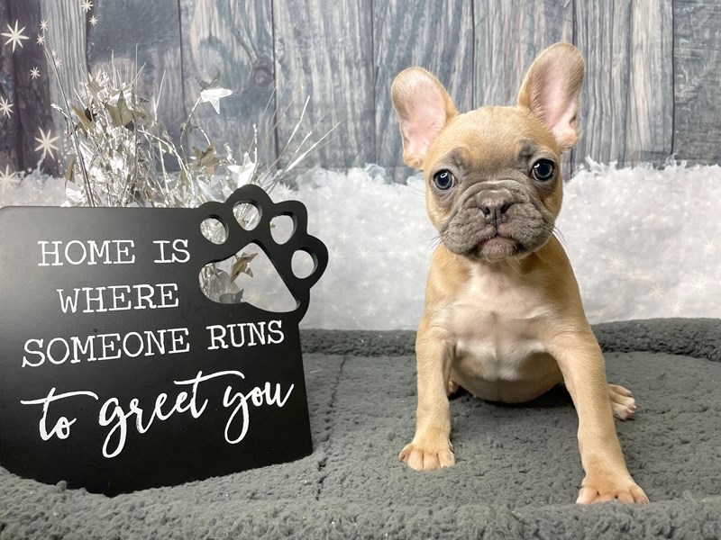 French Bulldog-DOG-Female-Blue Fawn-2949154-Petland Athens, OH
