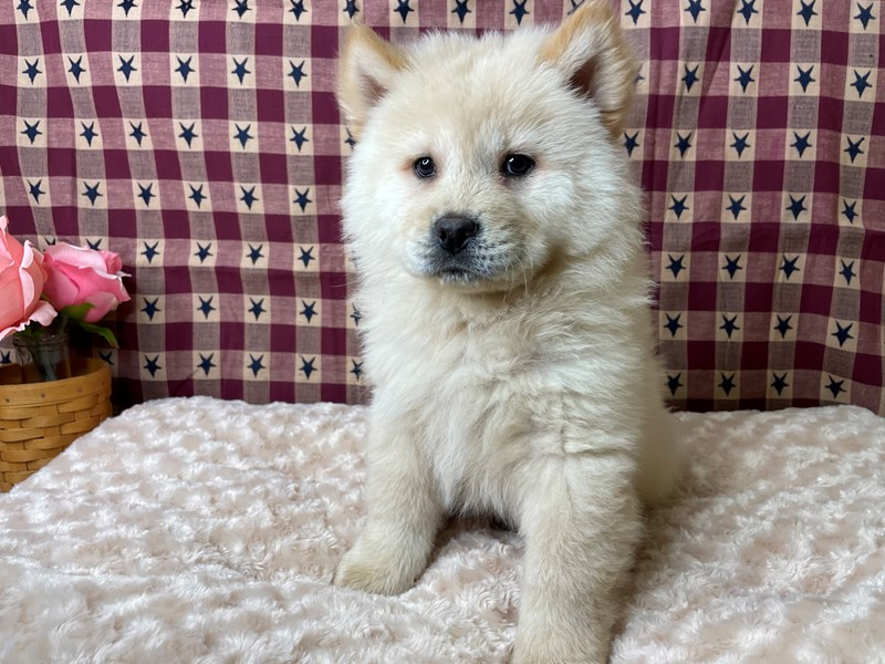 Chow Chow-Male-Cream-2956596-Petland Athens, OH