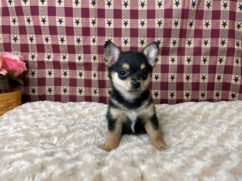 Chihuahua-DOG-Male-Black / Tan-2956708-Petland Athens, OH