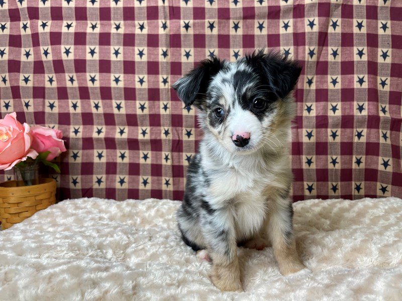 Toy Australian Shepherd-DOG-Male-Blue Merle-2956487-Petland Athens, OH