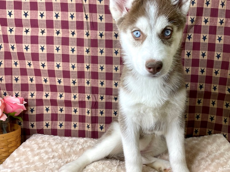 Siberian Husky-Female-Red / White-2934505-Petland Athens, OH