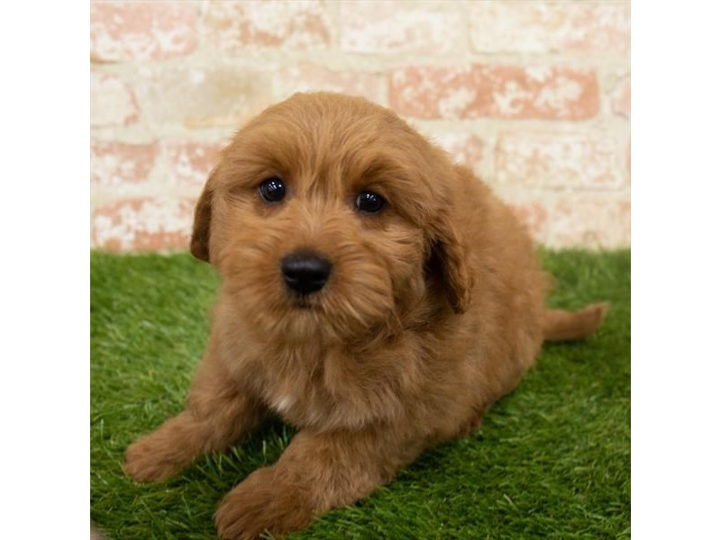 Goldendoodle Mini-DOG-Female-Red-2965657-Petland Athens, OH