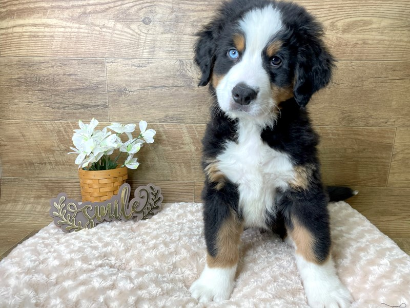 Bernese Mountain Dog-Male-Black White / Tan-2965658-Petland Athens, OH