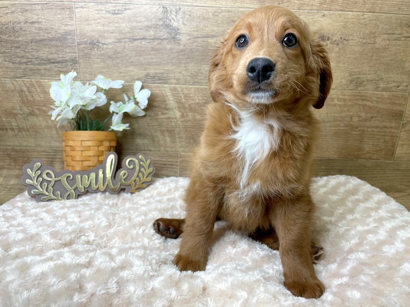 Goldendoodle Mini-Male-Red-2965655-Petland Athens, OH