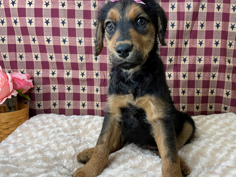 Poodle/Airedale Terrier-DOG-Female-Black / Tan-2956578-Petland Athens, OH