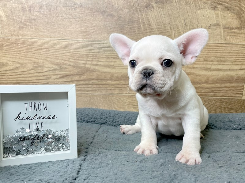 French Bulldog-Female-Cream-2974527-Petland Athens, OH