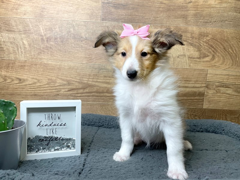 Shetland Sheepdog-Female-Sable / White-2973609-Petland Athens, OH