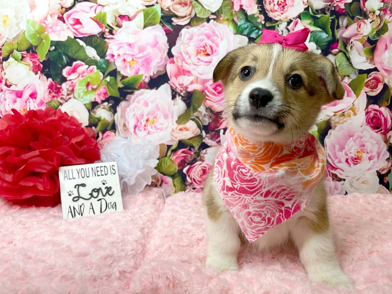 Pembroke Welsh Corgi-Female-Sable / White-2990554-Petland Athens, OH