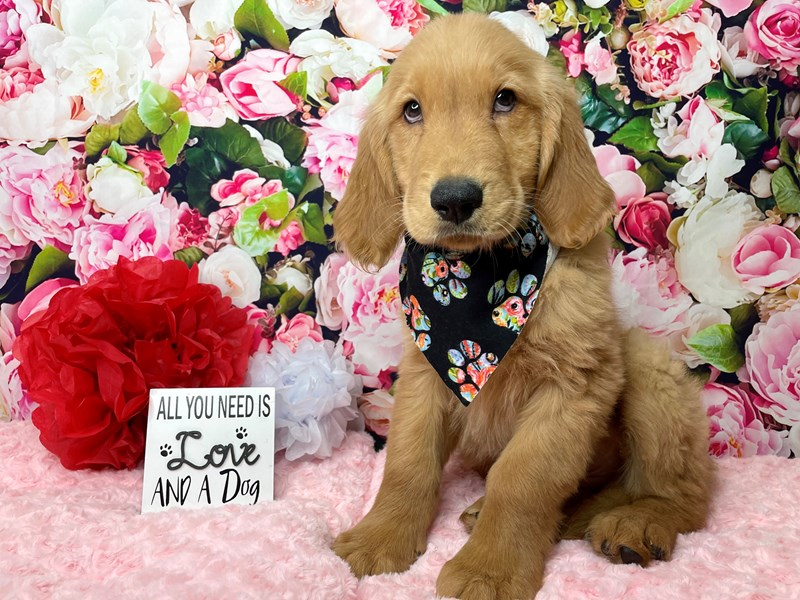 Golden Retriever-Male-Golden-2990555-Petland Athens, OH