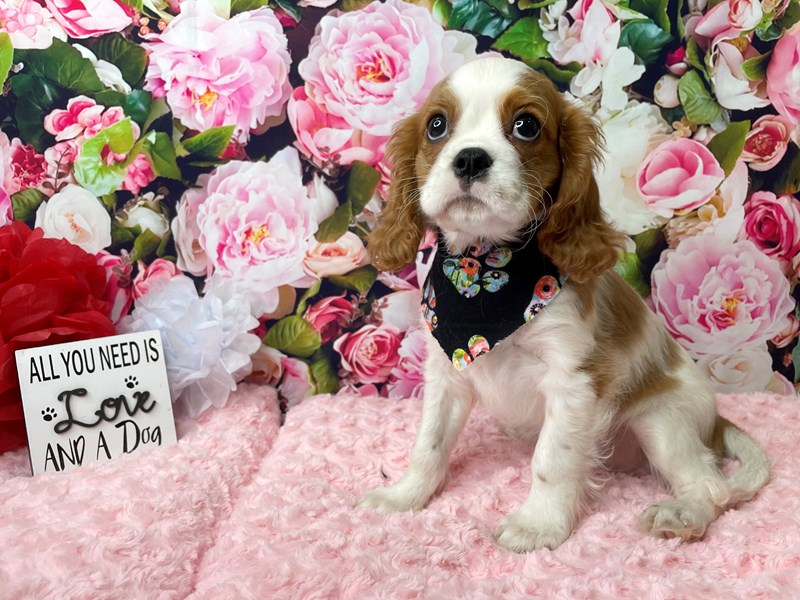 Cavalier King Charles Spaniel-Male-Blenheim-2990551-Petland Athens, OH
