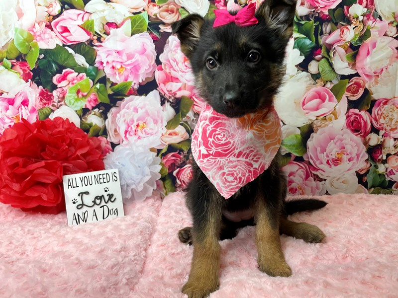 German Shepherd-Female-Tri color-2989022-Petland Athens, OH