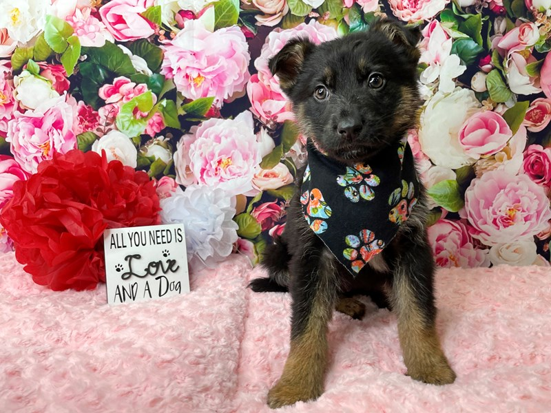 German Shepherd-Male-Tri color-2989018-Petland Athens, OH