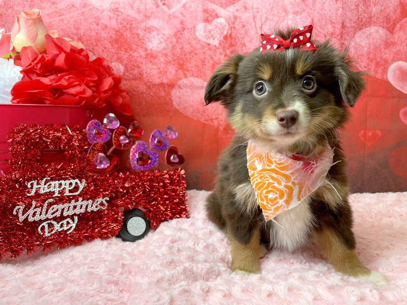Miniature Australian Shepherd-Female-Red-2997506-Petland Athens, OH