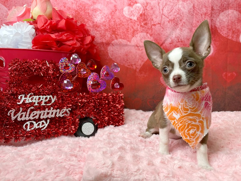 Chihuahua-DOG-Female-Chocolate-2997504-Petland Athens, OH