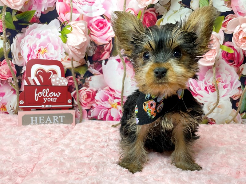 Yorkshire Terrier-Male-Black / Tan-3007789-Petland Athens, OH