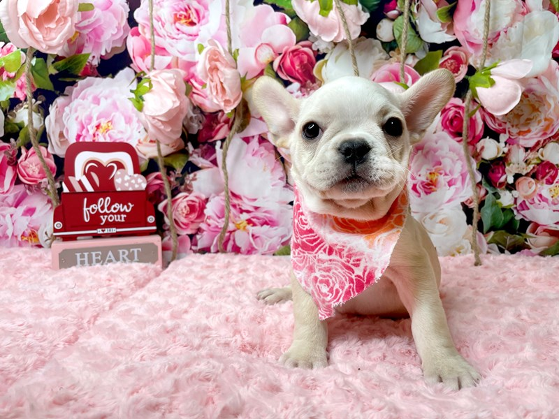 French Bulldog-Female-Cream-3006711-Petland Athens, OH