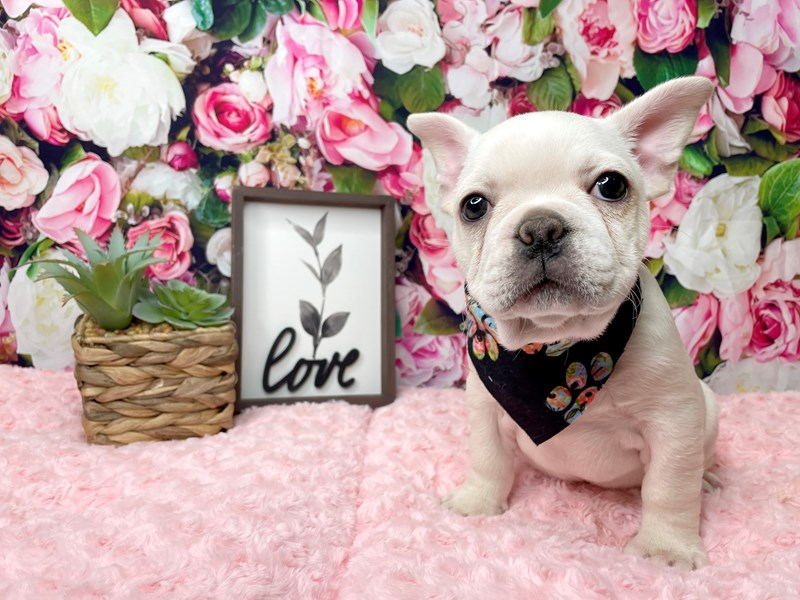 French Bulldog-Male-Cream-3016882-Petland Athens, OH
