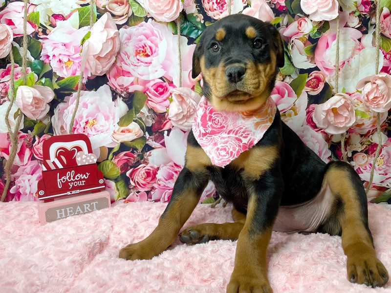 Rottweiler-DOG-Female-Black / Rust-3007788-Petland Athens, OH
