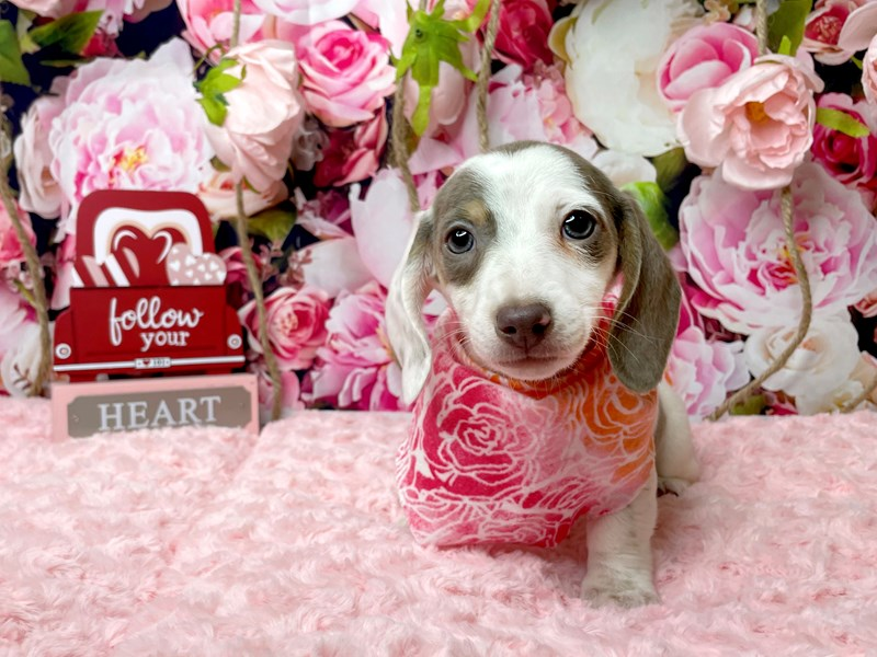 Dachshund-Female-Fawn (Isabelle) & tan-3006647-Petland Athens, OH