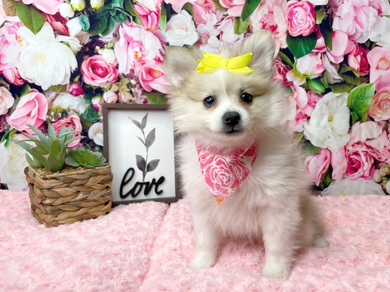 Pomeranian-Female-Cream Sable / White-3016884-Petland Athens, OH