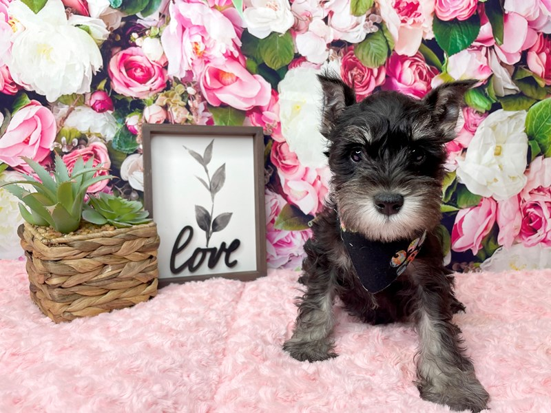 Miniature Schnauzer-DOG-Male-Black / Silver-3015029-Petland Athens, OH