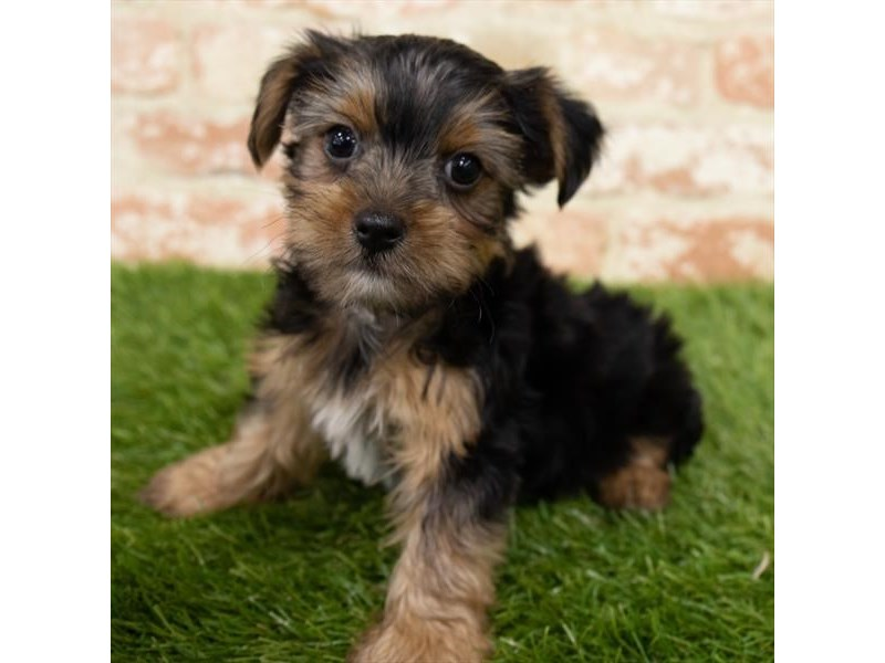 Yorkshire Terrier-Male-Black / Tan-3025999-Petland Athens, OH
